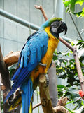 Yellow and blue parrot Royalty Free Stock Image