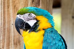 Yellow and blue parrot. Yellow and blue macaw close up Royalty Free Stock Images
