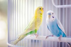 Yellow and blue parrots. Yellow and blue kissing parrots in a white cage royalty free stock photos