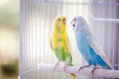 Yellow and blue parrots. Yellow and blue kissing parrots in a white cage stock photography