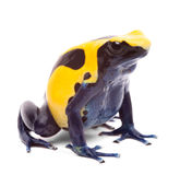 Yellow blue poison dart frog Royalty Free Stock Image