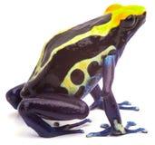 Yellow blue Poison dart frog  Stock Photos