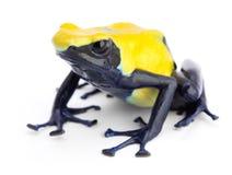 Yellow blue poison dart frog Dendrobates tinctorius Stock Photography