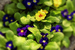 Yellow and blue primroses Stock Photography