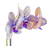Yellow with blue spots branch orchid  flowers,  Orchidaceae, Phalaenopsis known as the Moth Orchid Stock Photography