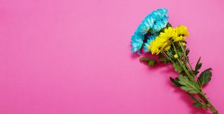 Yellow and blue summer flowers composition isolated on pink background. Mother and women day. Valentine holidays concept. Top view. And copy space. Banner mock royalty free stock photography