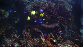 Yellow and yellow blue tang fish swimming in a big marine aquarium stock footage