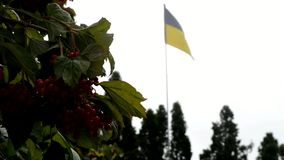 The yellow-blue Ukrainian flag fluctuate under the influence of wind. The red berries are between the green and light green leaves of the shrub. The Ukrainian stock video