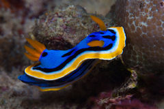 Free Yellow, Blue, White, Purple And Black Nudibranch. Underwater Photo. Philippines Royalty Free Stock Photos - 61592748