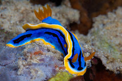 Yellow, blue, white, purple and black nudibranch. Underwater pho Stock Images