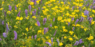 Yellow and blue wildflowers Royalty Free Stock Image