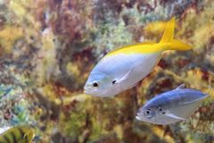Yellow and blueback fusilier. Caesio teres, the yellow and blueback fusilier, beautiful fusilier, blue and gold fusilier or yellow-tail fusilier, is a pelagic Royalty Free Stock Images