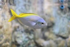 Yellow and blueback fusilier. The image of the fish in local aquarium Royalty Free Stock Photo