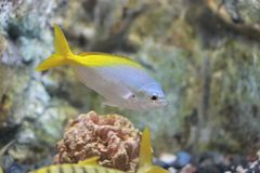 Yellow and blueback fusilier. The image of the fish in local aquarium Stock Photo