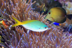 Yellow and blueback fusilier. Or Redfin fusilier (Caesio teres) in Japan Stock Photography