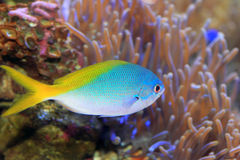 Yellow and blueback fusilier. Or Redfin fusilier (Caesio teres) in Japan Stock Photos