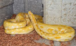 Yellow Boa. Beautiful reptile reptiles spotted patterns zoo Austin Texas nature wildlife Stock Photo