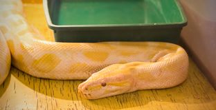 The yellow boa constrictor in the terrarium. The yellow big boa constrictor in the terrarium Royalty Free Stock Image