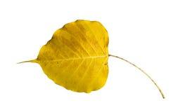 Yellow Bodhi leaf Stock Photo