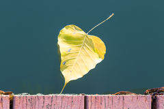 Yellow bodhi leaf floating in water.  Royalty Free Stock Photos