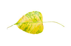 Yellow bodhi leaf vein Stock Image