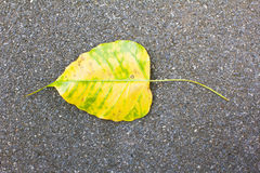 Yellow bodhi leaf vein Royalty Free Stock Image