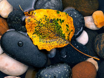 The yellow bodhi  leaves falling on river stone zen , peaceful, Royalty Free Stock Image