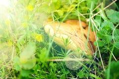 Yellow boletuses mushrooms close up Royalty Free Stock Image
