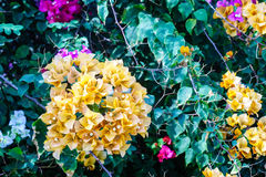 Yellow bougainvillea Royalty Free Stock Photos
