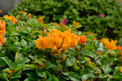 Yellow bougainvillea flower Stock Images