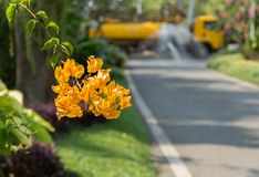 The Yellow Bougainvillea flower on road with yellow truck background. The Yellow Bougainvillea flower on road with the yellow truck background. Orange yellow royalty free stock photo