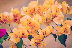 Yellow Bougainvillea flowers Stock Photo