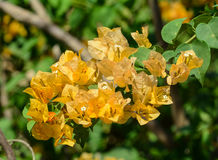 Yellow Bougainvillea flowers at park in Kyoto, Japan Royalty Free Stock Images