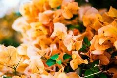 Yellow Bougainvillea Royalty Free Stock Photo