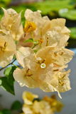 Yellow bougainvillea. Royalty Free Stock Images