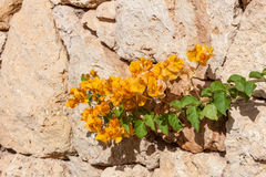 Yellow bougainvillea, Sharm el Sheikh, Egypt Stock Photo