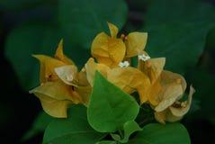 yellow Bougainvillea Stock Photo