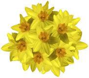 Yellow bouquet of daffodils on a white background isolated with clipping path.  no shadows. Closeup. Royalty Free Stock Image