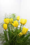 Yellow bouquet of tulips. On white background Stock Image