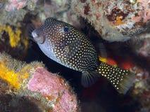 Yellow boxfish Stock Image