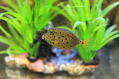 Yellow boxfish Royalty Free Stock Image