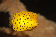 Yellow boxfish juvenile. (ostracion cubicus) swimming near coral in Lembeh Strait, North Sulawesi, Indonesia Stock Images