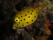 Yellow boxfish. Juvenile yellow boxfish photographed on the Phi Phi Islands in Thailand royalty free stock photo