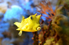 Yellow boxfish (Lactoria cornuta) Stock Image