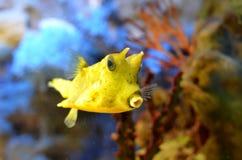 Yellow boxfish (Lactoria cornuta) Stock Image