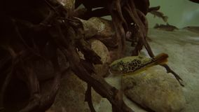 Yellow boxfish in marine aquarium stock footage video. Yellow boxfish in a marine aquarium stock footage video stock video footage