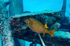 Yellow boxfish Royalty Free Stock Images