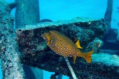 Yellow boxfish Royalty Free Stock Images