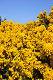 Yellow bracken bush Stock Photos