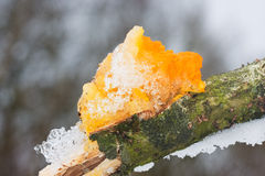 Yellow Brain Fungus on oak Stock Photography